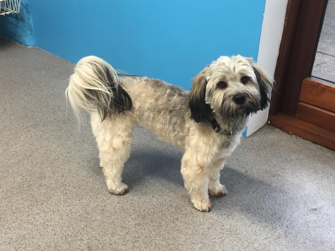 Puddel Lhasa Apso